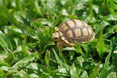 african spurred tortoise or geochelone sulcata - stock photo