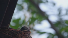 Fieldfare thrush chicks Stock Footage