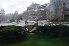 Humboldt penguins swimming under water Stock Photos