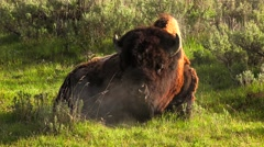 Bison in Yellowstone National Park Stock Footage