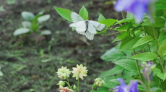Aporia crataegi (Black-veined white butterfly Stock Footage