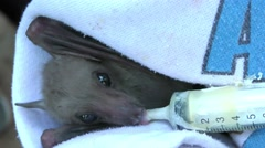 Fruit bat in bat sanctuary gets food and water - stock footage