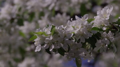 Slow motion apple blossoms on tree blowing in the wind Stock Footage