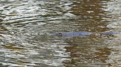 Platypus on the surface of a river in tasmania, australia Stock Footage