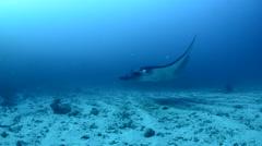 Manta Ray Swimming Over Sandy Bottom Stock Footage