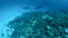 Manta Rays Being Cleaned at a Cleaning Station 2 Stock Footage