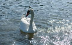 White Swan floating on the lake in spring Stock Photos