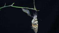 Butterfly emerging from chrysalis on black background Stock Footage