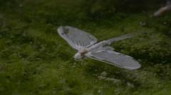 Mayflies swarming close-up, slowmotion Stock Footage