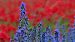 Blueweed, Echium vulgar wildflower during sunrise at the island Gotland Stock Footage