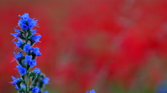 Blueweed, Echium vulgar wildflower during sunrise at the island Gotland - stock footage