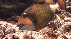 Titan trigerfish on the wonderful coral reef in the Red sea near Egypt. Stock Footage