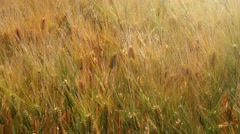 Cultivated barley field detail - stock footage