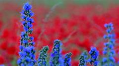 Blueweed, Echium vulgar wildflower during sunrise at the island Gotland Stock Footage