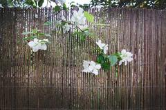 White jasmine flowers - stock photo