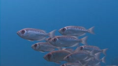 A flock of fish bicelles hamrur. Stock Footage