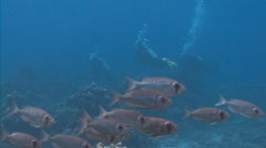 A flock of fish bicelles hamrur. - stock footage