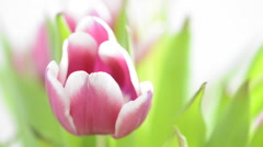 Tulip flower with slow sliding motion Stock Footage