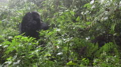 Mountain Gorilla Silverback Stock Footage