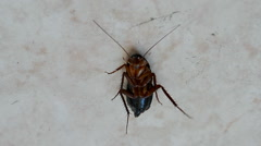 Brown cockroach under insecticide after disinfection, insect closeup. Stock Footage