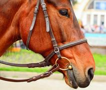 Horse in harness. Portrait of a horse. Brown horse - stock photo