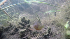 Underwater: water-channel fish guarding its territory. Sombor, Serbia. - stock footage