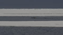 Slow motion - narwhals diving and splashing in frozen sea Stock Footage