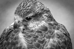 Bird's head hawk black and white - stock photo