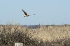 Female Northern Harrier in flight - stock photo
