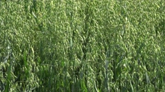 Oat cultivation Stock Footage