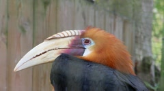 Papuan Hornbill Stock Footage