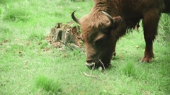 Bison is grazing in the forest in the wildlife Stock Footage