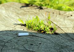 Stub of cigarette lying on a tree stump germinating Stock Photos