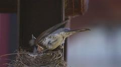 Female Fieldfare on the nest Stock Footage