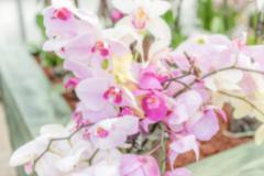 Defocused background of beautiful pink phalaenopsis orchids Stock Photos