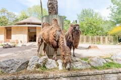 Camels looking for food at the zoo Stock Photos