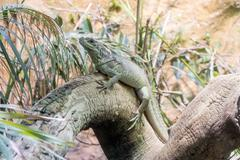 Common green iguana resting on a tree trunk in tropical environment - stock photo