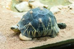 The radiated tortoise, endemic turtle from south of Madagascar Stock Photos
