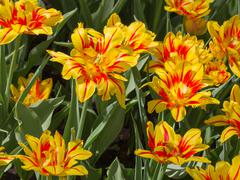 unusual bright tulips in the garden - stock photo
