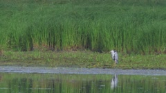 Heron hunting for fish. UHD footage. Stock Footage