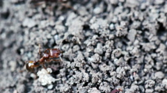 Ants make burrow on the ground. Macro shot. - stock footage