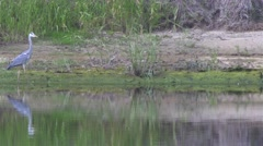 Heron hunting for fish. Stock Footage