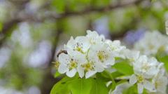 flowering fruit tree in the garden - stock footage