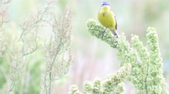 Small yellow wagtail sitting on the branch (Motacilla flava). Full HD footage. Stock Footage