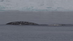 Slow motion - close on pair of narwhals swimming near ice edge Stock Footage