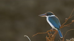 White-collared kingfisher bird in Beautiful Backlight, Langkawi, Malaysia 4k Stock Footage