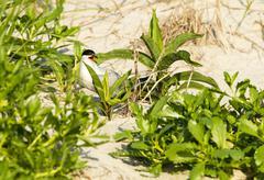 Common Tern on dune - stock photo