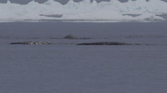 Slow motion - narwhals resting spraying with backs swimming Stock Footage