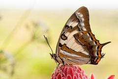 Tailed Emperor butterfly on red flower with copyspace - stock photo