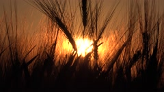 4K Wheat Ear Harvest in Sunset, Sun Ray in Cereals, Grains Field, Agriculture - stock footage